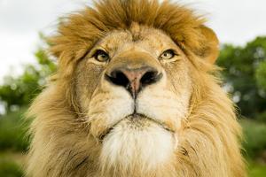 Lion (Panthera leo) portrait, looking proud, Captive by Paul Williams