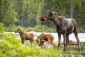 Moose female with twin calves, Baxter State Park, Maine, USA by Paul Williams