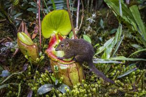 Mountain tree shrew feeding on nectar secreted by the endemic Pitcher Plant, slopes of Mt Kinabalu by Paul Williams