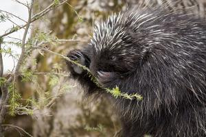 North American porcupine (Erethizon dorsatum), feeding on a young spruce tree. Vermont, USA by Paul Williams