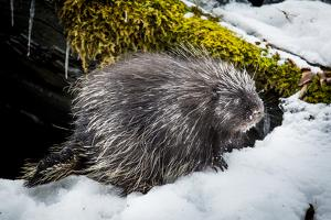 North American porcupine (Erethizon dorsatum), leaving its rocky den, Vermont, USA by Paul Williams