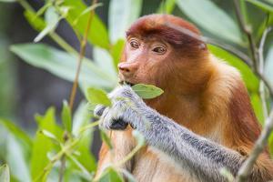 Proboscis monkey (Nasalis larvatus) female feeding, Kinabatangan River, Sabah, Borneo. by Paul Williams