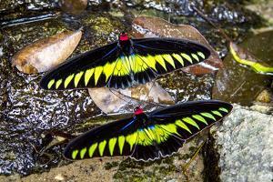 Raja Brookes Birdwing Butterfly (Trogonoptera brookiana), Borneo by Paul Williams