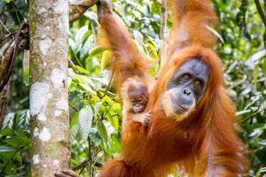 Sumatran Orangutan female with young baby, Gunung Leuser National Park, Sumatra, Indonesia by Paul Williams