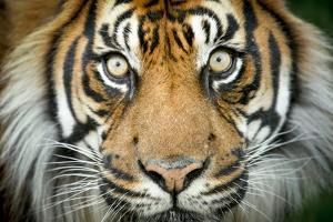 Sumatran tiger close up portrait, captive by Paul Williams