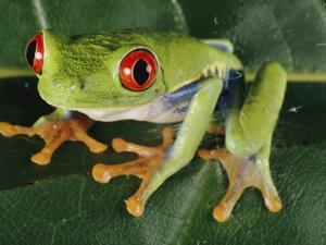 Close-up of a Tree Frog by Paul Zahl