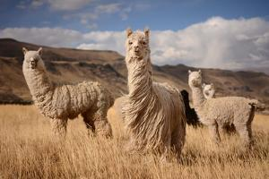 Llamas (Alpaca) in Andes Mountains, Peru, South America by Pavel Svoboda Photography