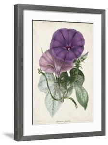 Plum Morning Glory by Paxton