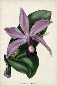 Plum Orchid by Paxton
