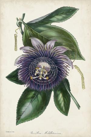 Plum Passion Flower