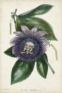 Plum Passion Flower by Paxton