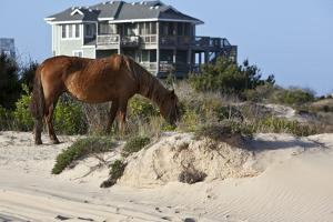 Wild Horses Graze in the Protected Northern Tip of the Outer Banks in Corolla, North Carolina Among by pdb1