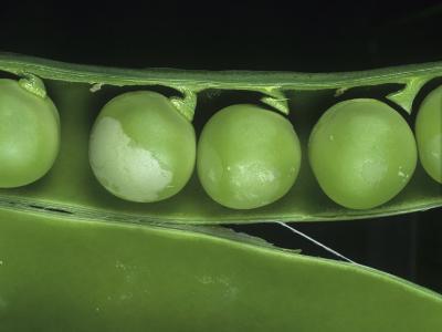 Pea Thrip (Kakothrips Pisivorus) Damage to Peas in the Pod (Pisum Sativum). England, Uk-Nigel Cattlin-Photographic Print