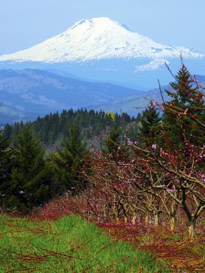 Peach Blossoms, Hood River, Oregon, USA-Michel Hersen-Photographic Print