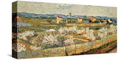 Peach Blossoms in the Crau, c.1889-Vincent van Gogh-Stretched Canvas Print