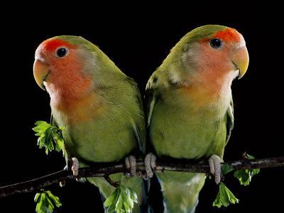 Peach-Faced Lovebirds Two--Photographic Print