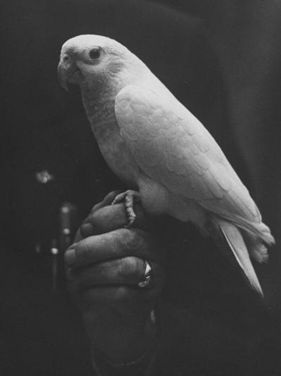 Peach Head and Yellow Bodied Parrot Was the Rarest Bird at the Tenth National Cage Bird Show-Ralph Crane-Photographic Print