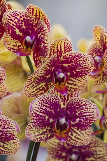 Peach Orchid Blooms-Anna Miller-Photographic Print