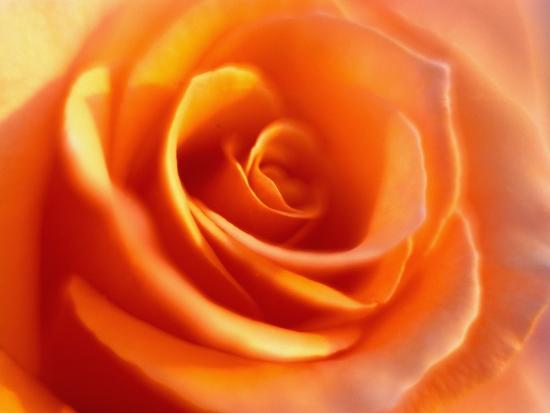 Peach Rose-David Papazian-Photographic Print