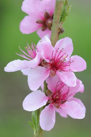 https://imgc.artprintimages.com/img/print/peach-tree-fork-blossoms-detail_u-l-q11vgcv0.jpg?p=0