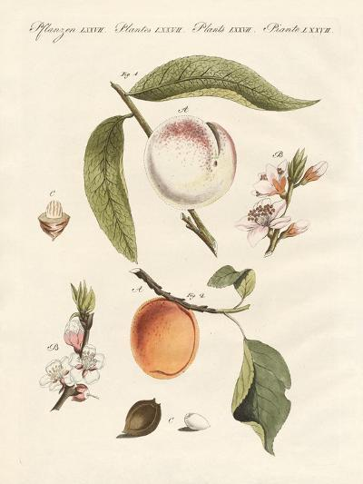 Peaches and Apricots--Giclee Print
