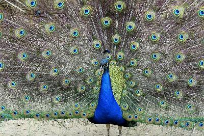 Peacock 1-Galloimages Online-Photographic Print