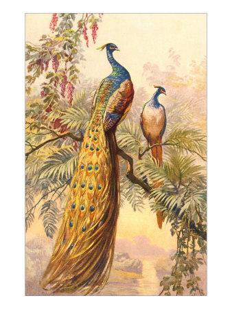 Peacock and Peahen, Illustration--Art Print