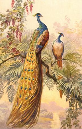 Peacock and Peahen, Illustration