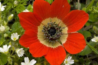 https://imgc.artprintimages.com/img/print/peacock-anemone-anemone-pavonina_u-l-pzewr80.jpg?p=0