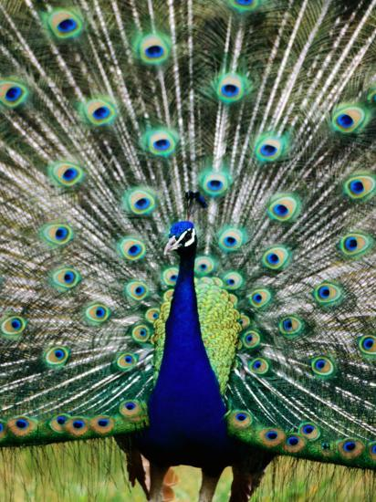 Peacock at Olympic Game Farm, Sequim, Washington-Mark Newman-Photographic Print