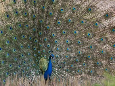 Peacock, Bandhavgarh Tiger Reserve, Madhya Pradesh State, India-Milse Thorsten-Photographic Print