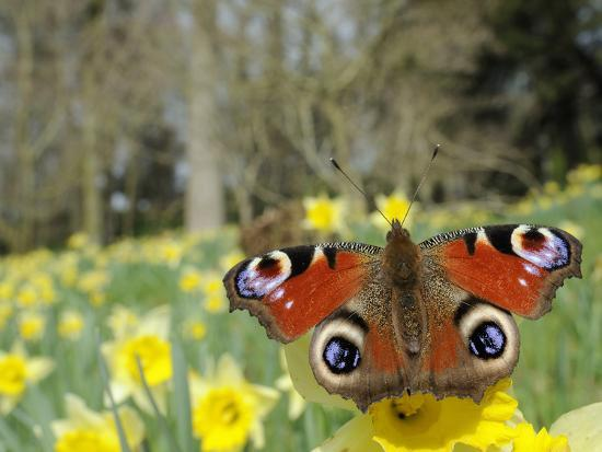 Peacock Butterfly (Inachis Io) on Wild Daffodil (Narcissus Pseudonarcissus), Wiltshire, England-Nick Upton-Photographic Print