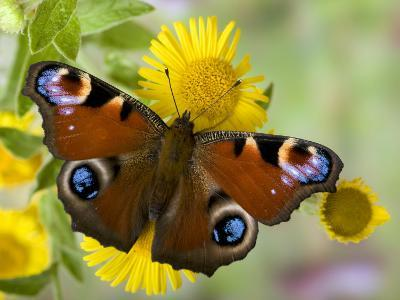Peacock Butterfly on Fleabane Flowers, Hertfordshire, England, UK-Andy Sands-Photographic Print