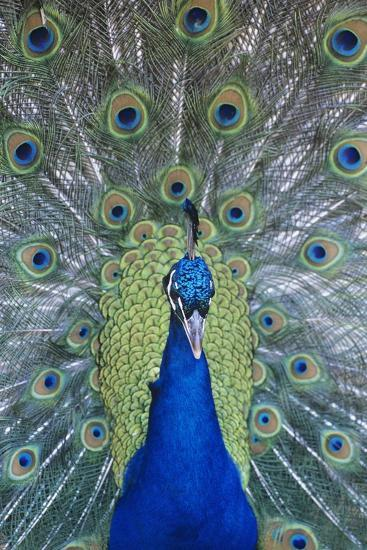 Peacock Displaying Feathers, Close-Up--Photo