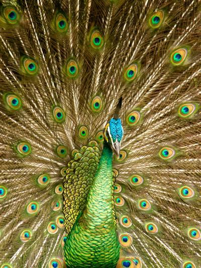 Peacock Displaying Feathers-Lisa S^ Engelbrecht-Photographic Print