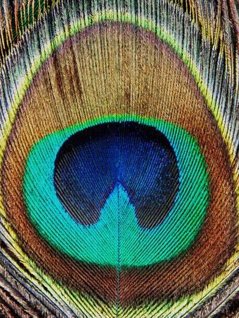 https://imgc.artprintimages.com/img/print/peacock-feather_u-l-f8c7a50.jpg?p=0