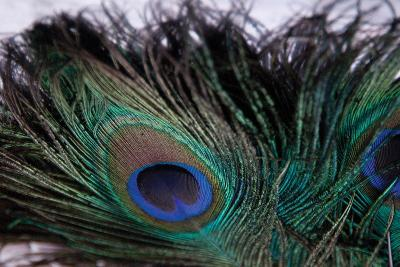 Peacock Feathers 2-Erin Berzel-Photographic Print