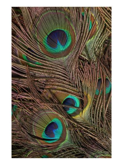 Peacock Feathers IV-Vision Studio-Art Print