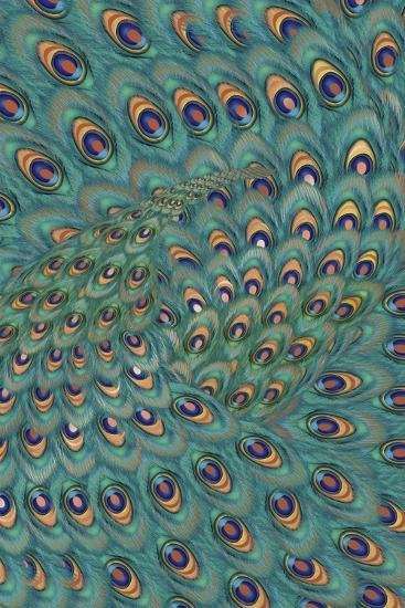 Peacock Feathers-FS Studio-Giclee Print