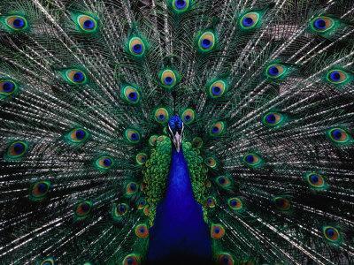 https://imgc.artprintimages.com/img/print/peacock-in-full-display-quito-pichincha-ecuador_u-l-p1187p0.jpg?p=0