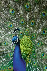 Peacock in the Grounds of Belvoir Castle, Leicestershire