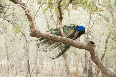 Peacock (Indian Peafowl) (Pavo Cristatus), Ranthambhore, Rajasthan, India-Janette Hill-Photographic Print