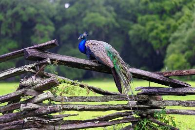 Peacock On A Fence-George Oze-Photographic Print