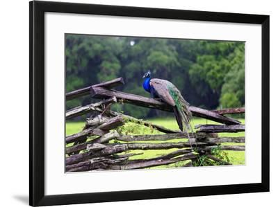 Peacock On A Fence-George Oze-Framed Photographic Print