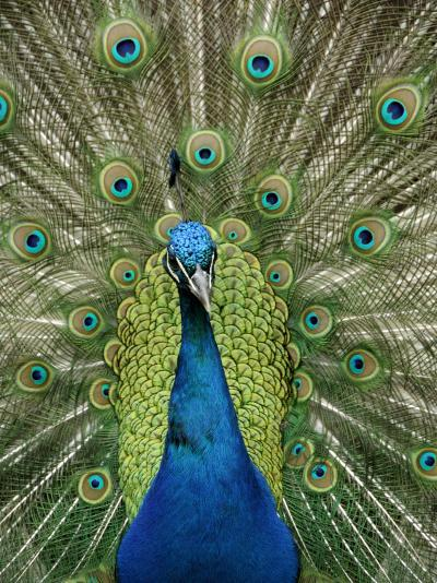 Peacock on Castle Grounds, Cardiff Castle, Wales-Cindy Miller Hopkins-Photographic Print