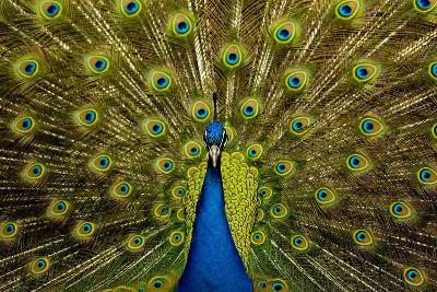 Peacock Pavo Cristatus Displaying Tail-Paul Stewart-Photographic Print