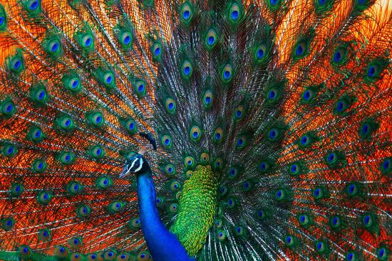 Peacock Showing Feathers on the Bright Red Background-Dudarev Mikhail-Photographic Print