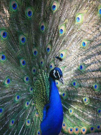 Peacock, Thessalonica, Macedonia, Greece, Europe-Godong-Photographic Print