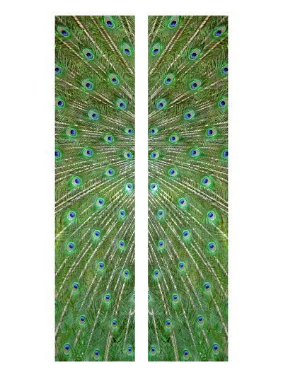 Peacock-Judy Tuwaletstiwa-Premium Giclee Print