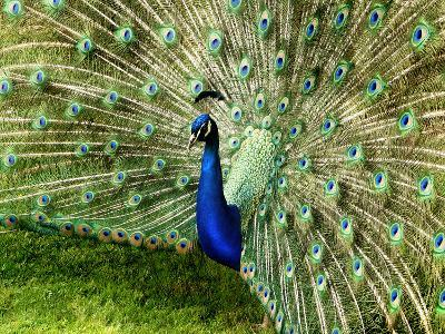 Peacock-This Image Belongs To Jean Turner-Photographic Print